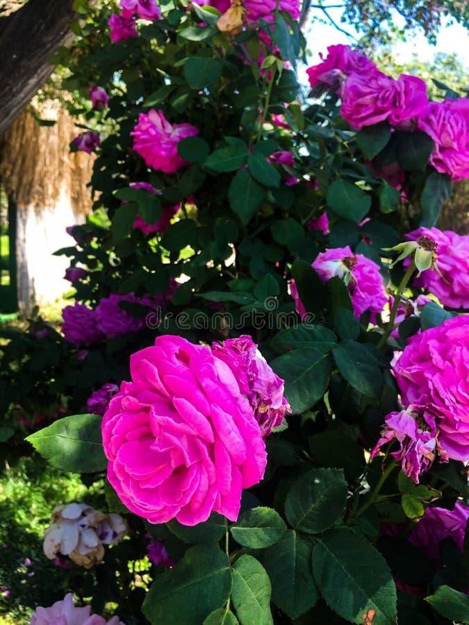 Arbusto de rosas violeta foto de stock royalty free