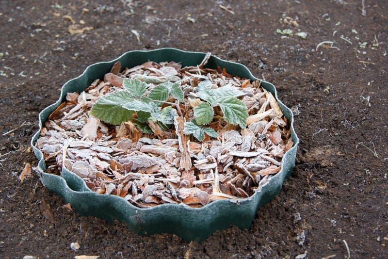 Arbusto de zarzamora joven en pedazo de madera congelado fotos de archivo libres de regalías