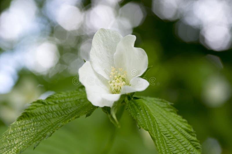 Arbusto deciduo degli scandens di Rhodotypos in fioritura immagine stock