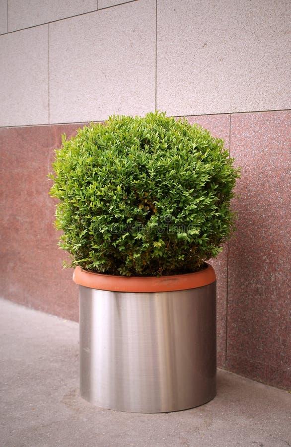 Arbusto decorativo fotos de stock royalty free