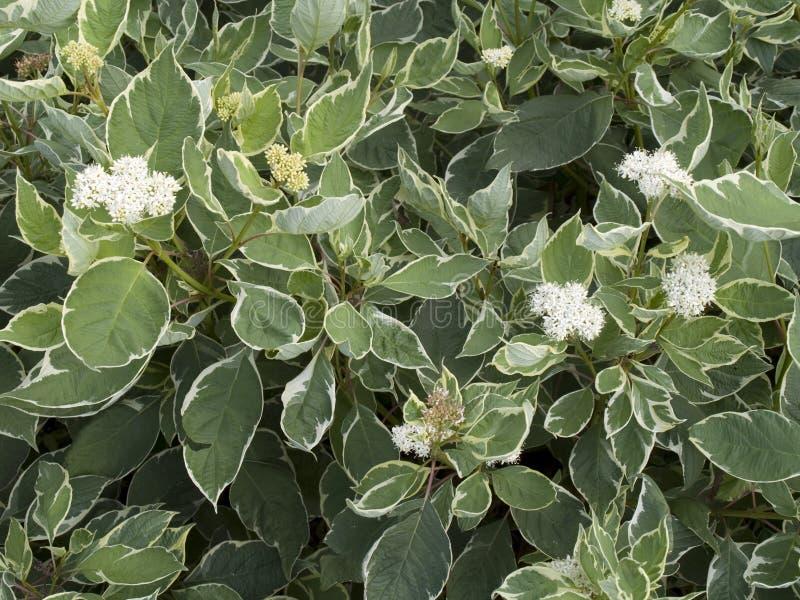 Arbusto decorativo alba do Cornus imagens de stock