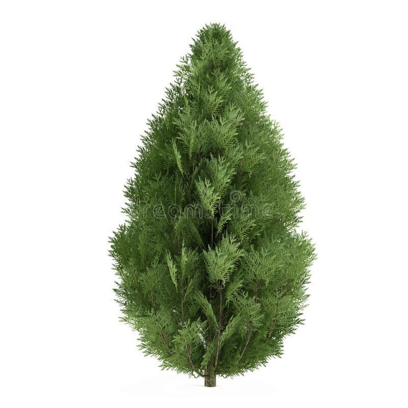 Arbusto del árbol aislado. Lawsoniana del Chamaecyparis ilustración del vector