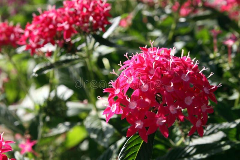 Arbusto Del árbol De Hoja Perenne De Pentas Imagen De Archivo Imagen De Cubo Flora 51424223