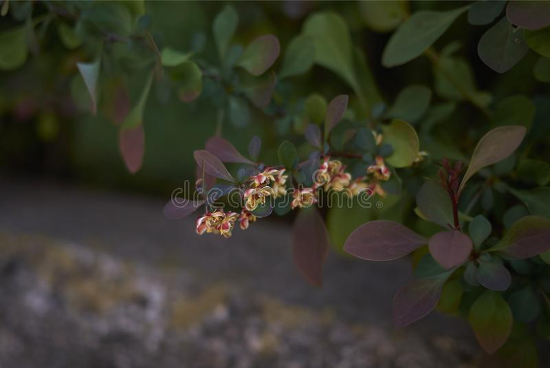 Arbusto del atropurpurea del thunbergii del Berberis imagenes de archivo
