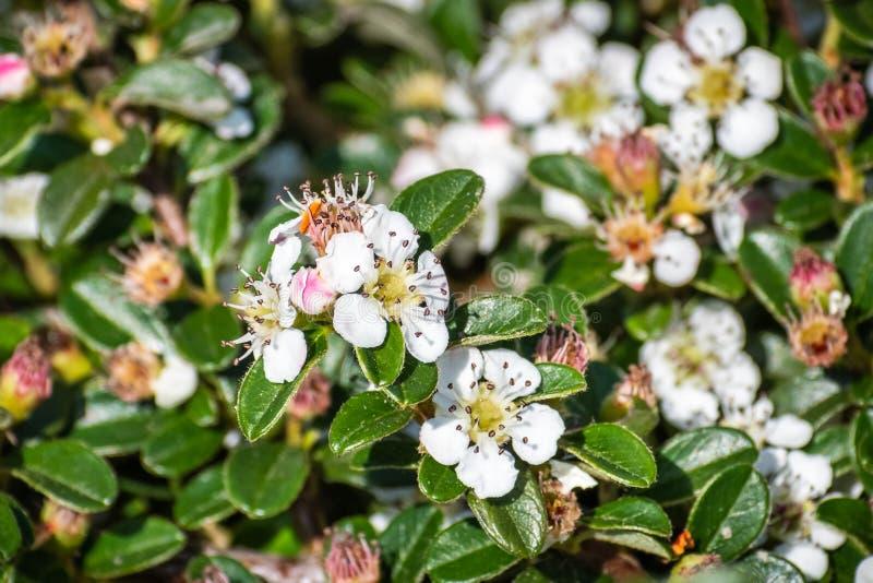 Arbusto del dammeri de Cotoneaster del cotoneaster de la gayuba, nativo a China central y meridional, y naturalizado en Europa foto de archivo