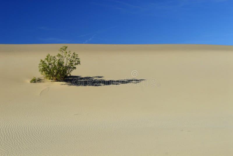 Arbusto del desierto en una duna de arena imagen de archivo libre de regalías