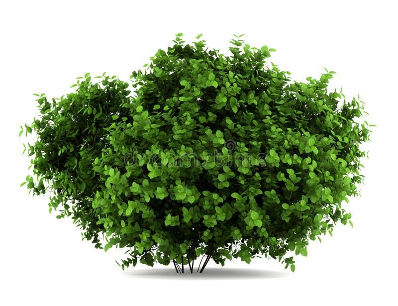 Arbusto del hydrangea de Bigleaf aislado en blanco stock de ilustración