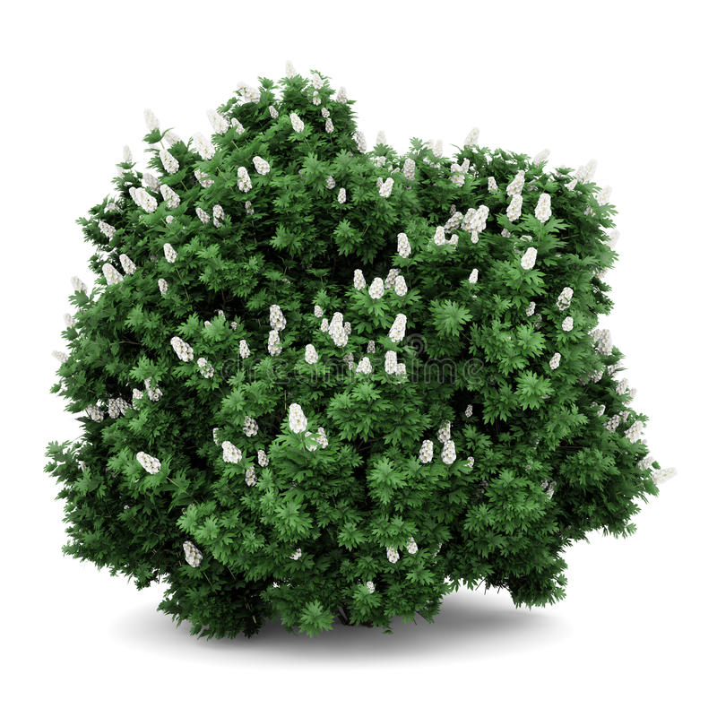 Arbusto del hydrangea de Oakleaf aislado en blanco ilustración del vector