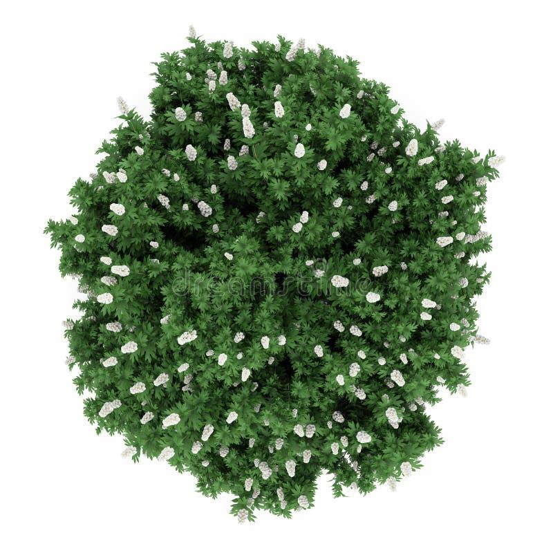 Arbusto del hydrangea del oakleaf de la visión superior aislado en blanco ilustración del vector