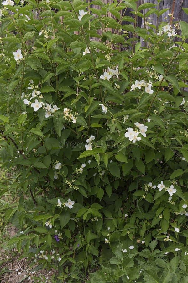 Arbusto del jazmín fotos de archivo