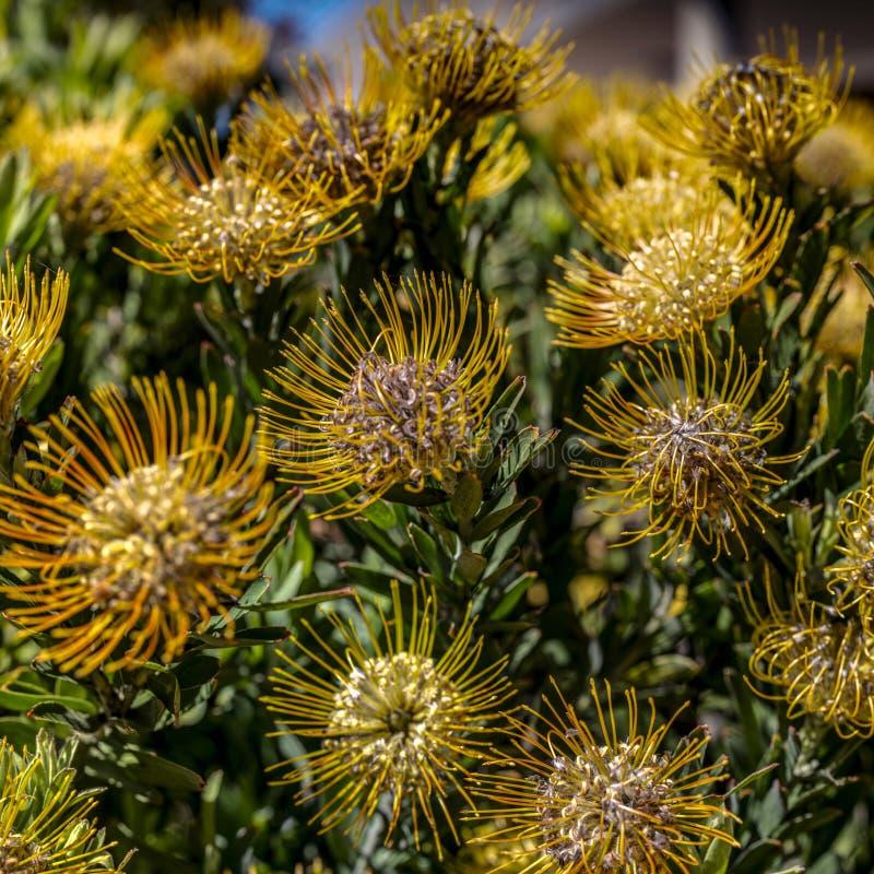 Arbusto del Protea del acerico fotos de archivo libres de regalías