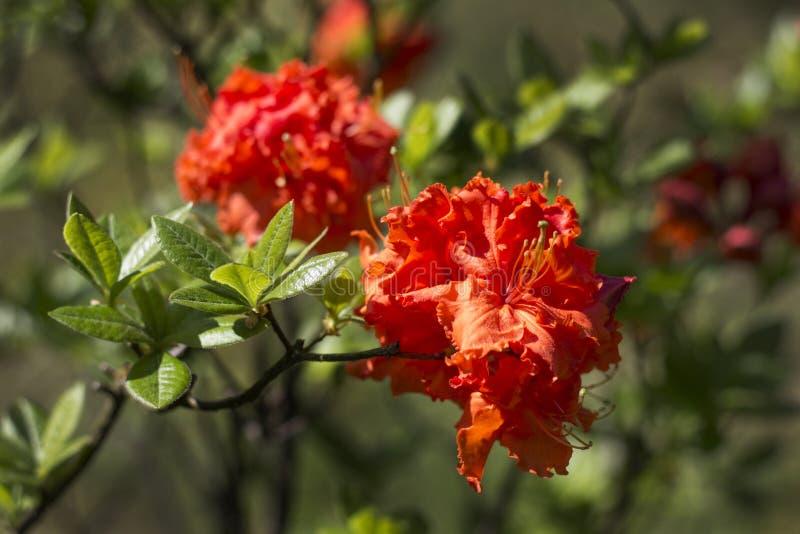 Arbusto del rododendro durante el florecimiento fotografía de archivo