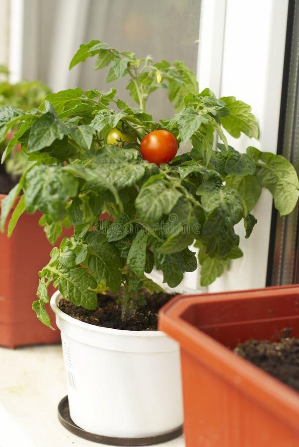Arbusto del tomate foto de archivo