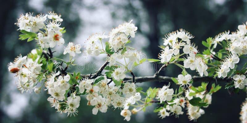 Arbusto dell'albero del cratego Fiori bianchi di cratego Foto invecchiata fotografia stock libera da diritti