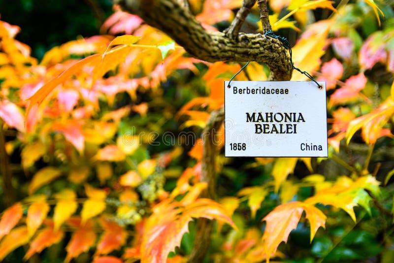 Arbusto di Bealei di Mahonia del crespino del ` s di Beale con i colori autunnali immagini stock libere da diritti