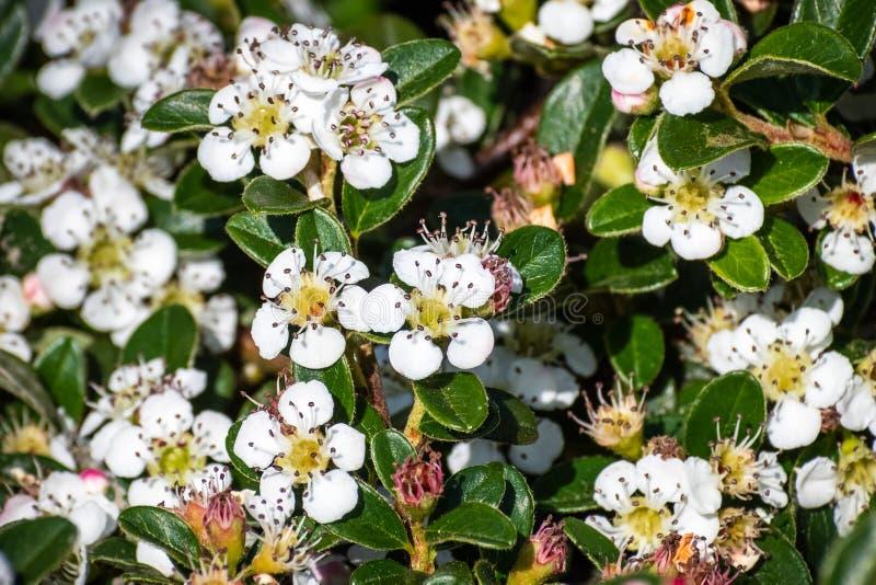 Arbusto di dammeri di Cotoneaster del cotoneaster dell'uva orsina, indigeno in Cina centrale e del sud e naturalizzato in Europa immagine stock