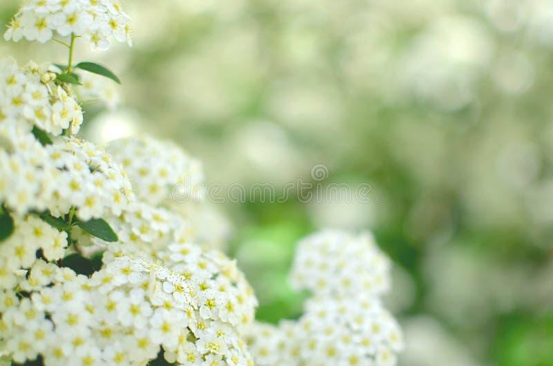 Arbusto di fioritura dello spirea bianco Il tempo di primavera? ? aumentato foglie, sfondo naturale Fiore di Spirea fotografie stock libere da diritti