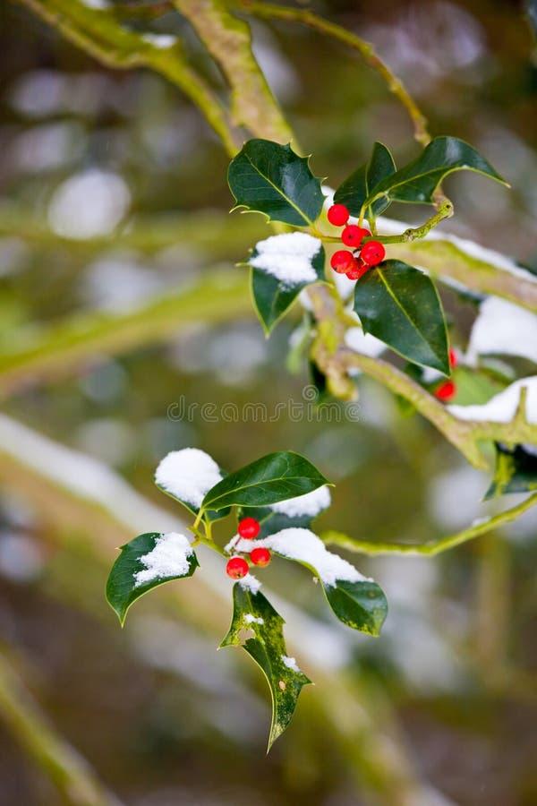 Arbusto do azevinho com neve no inverno fotos de stock royalty free