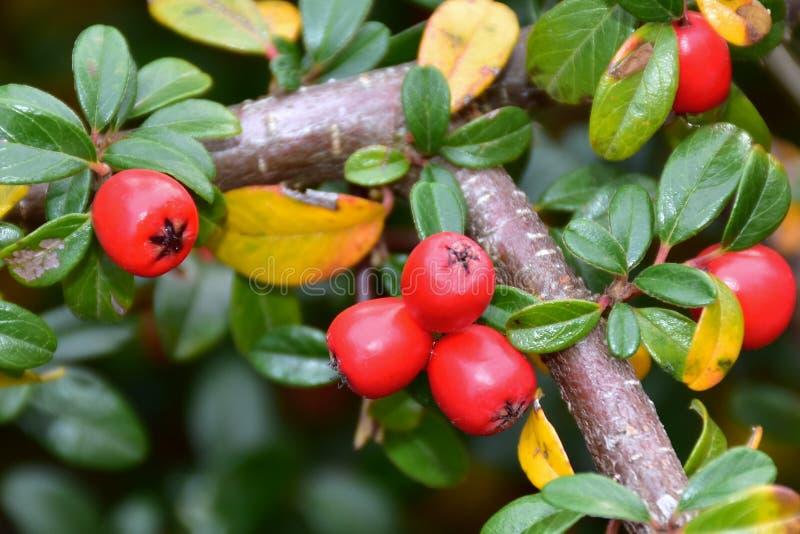 Arbusto do Cotoneaster com lotes de bagas vermelhas imagem de stock royalty free