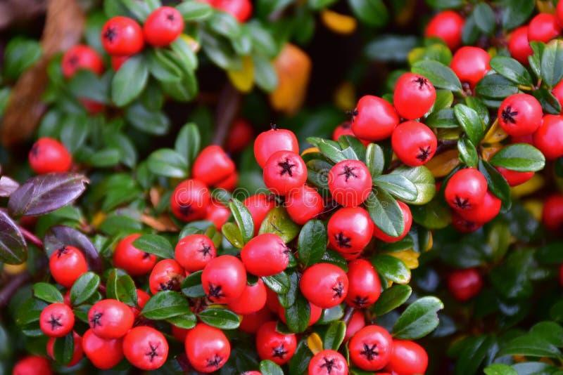 Arbusto do Cotoneaster com lotes de bagas vermelhas foto de stock