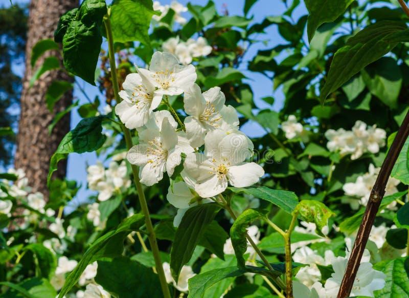 Arbusto do jasmim polvilhado com as flores brancas no jardim imagem de stock