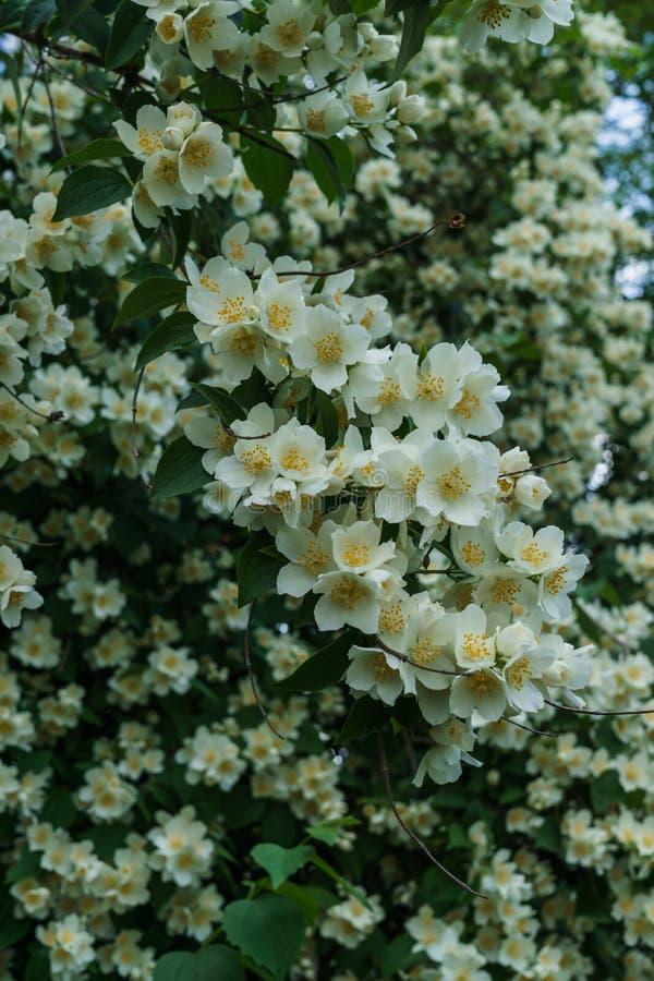 Arbusto do jasmim polvilhado com as flores brancas no jardim fotos de stock