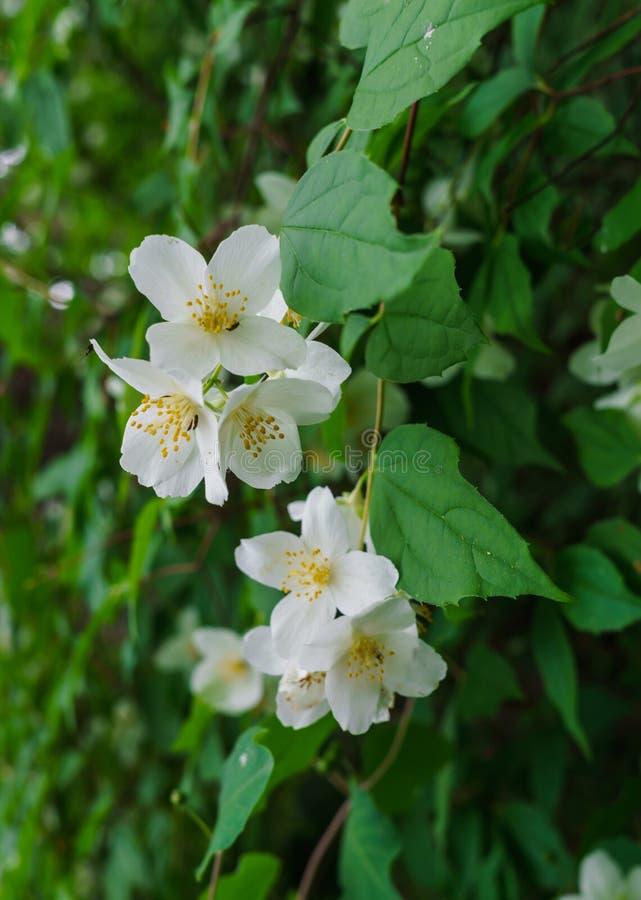 Arbusto do jasmim polvilhado com as flores brancas no jardim foto de stock