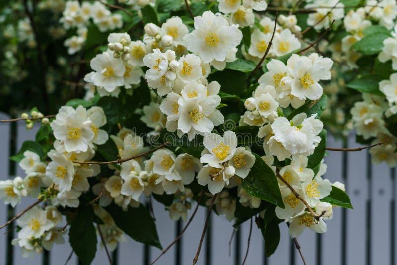 Arbusto do jasmim polvilhado com as flores brancas no jardim após a chuva foto de stock royalty free