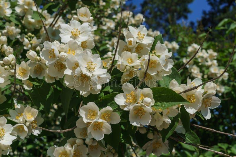 Arbusto do jasmim polvilhado com as flores brancas no jardim contra o céu azul imagem de stock