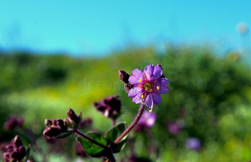 Arbusto do ossinho da sorte do deserto, flores fotos de stock