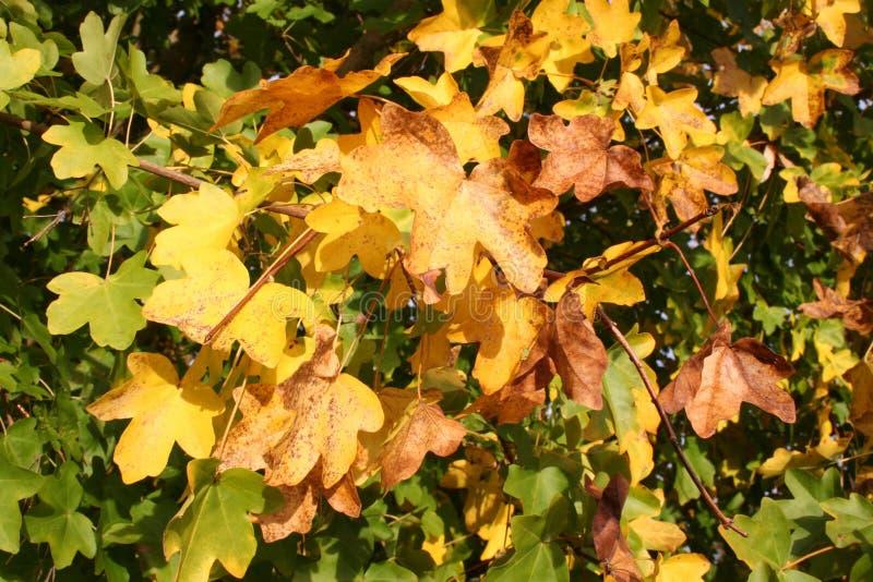Arbusto do outono imagens de stock