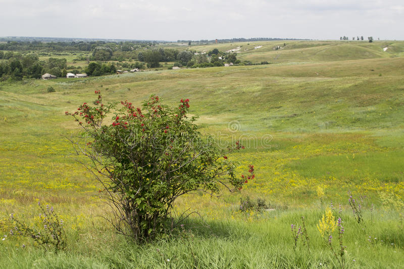 Arbusto do racemosa do Sambucus fotos de stock
