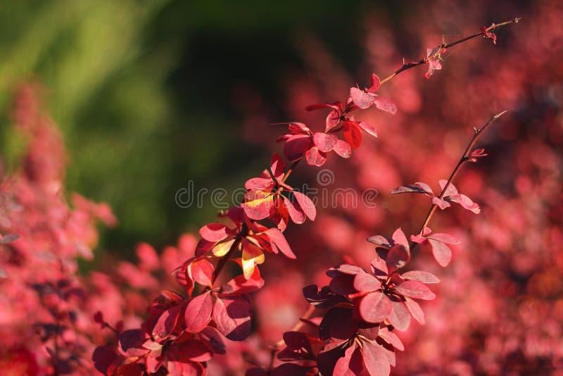 Arbusto do vermelho do outono imagens de stock