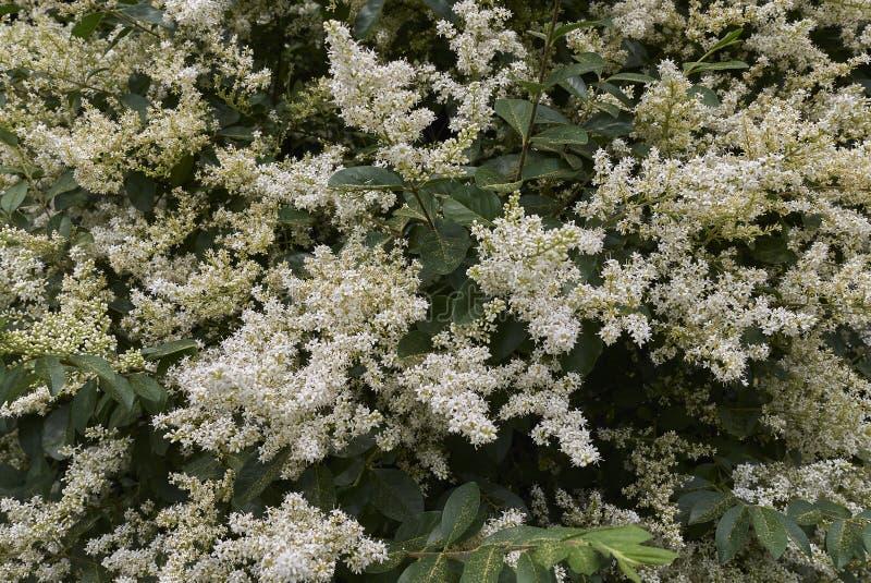 Arbusto do vulgare do Ligustrum foto de stock royalty free