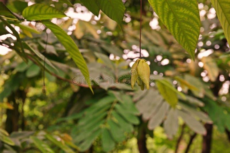 Arbusto do ylang do ylang do anão, uma planta da flor da fragrância imagens de stock royalty free
