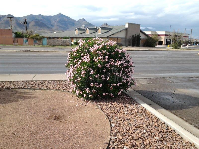 Arbusto duro del rosa del tiempo imagenes de archivo