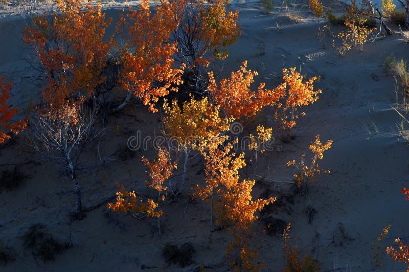 Arbusto En Desierto Foto de archivo libre de regalías