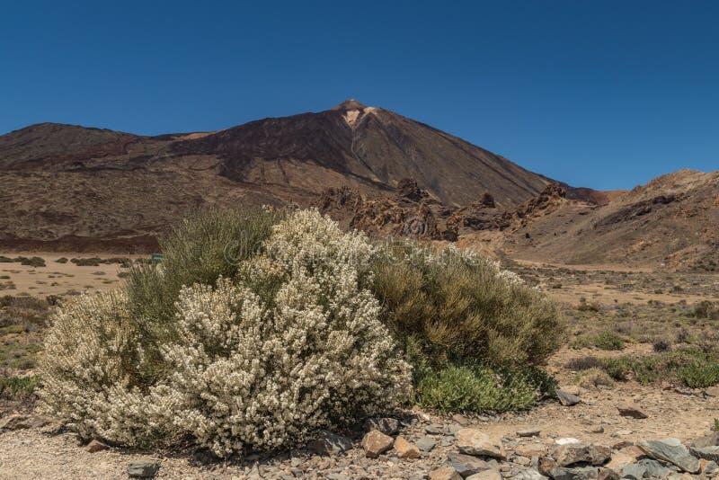 Arbusto endémico floreciente Flores blancas de los rhodorhizoides del Retama Pico de la montaña Teide y del cielo azul claro en e foto de archivo libre de regalías