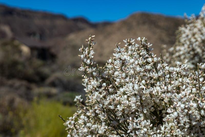 Arbusto endêmico de florescência Flores brancas de rhodorhizoides do Retama Parque nacional Teide, Tenerife, Ilhas Can?rias Foco  imagem de stock