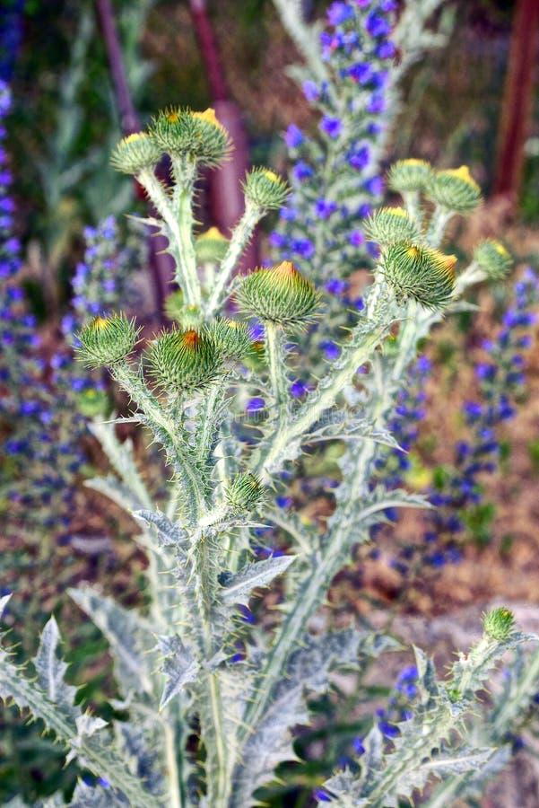 Arbusto espinhoso dos cardos no campo em um dia de verão fotos de stock royalty free