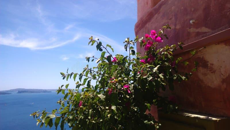 Arbusto floreciente cerca del edificio en la ciudad de Oia en la isla de Santorini fotografía de archivo