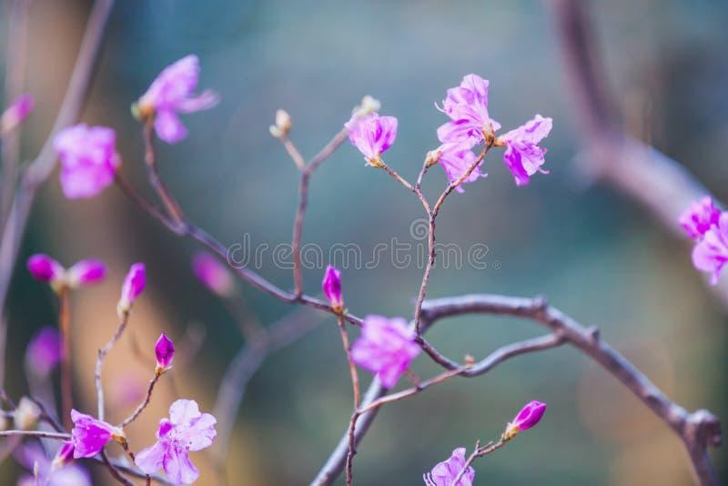 Arbusto floreciente con las flores rosadas brillantes imagen de archivo