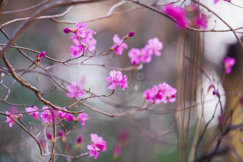 Arbusto floreciente con las flores rosadas brillantes imagenes de archivo