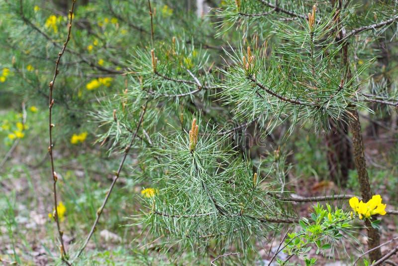 Arbusto floreciente de la escoba en las monta?as Genista y pino pino y flores amarillas, foto en el bosque foto de archivo
