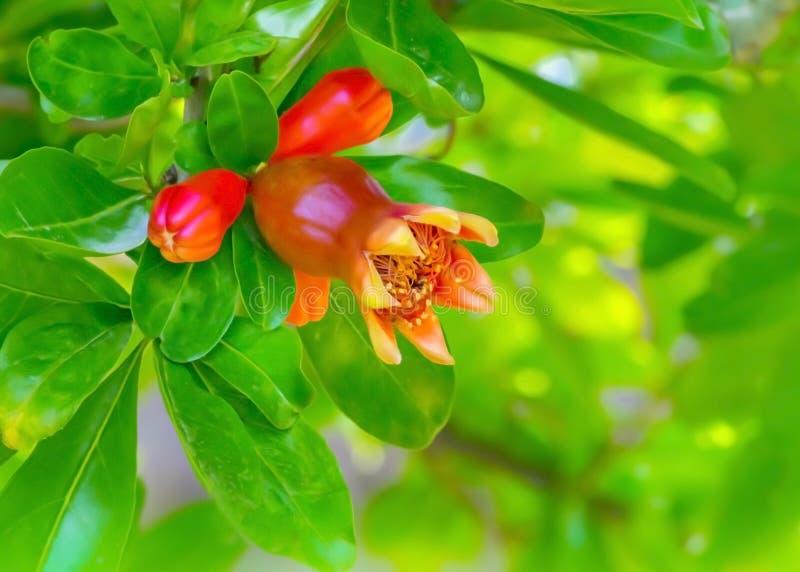 Arbusto floreciente hermoso de la granada o fondo floral de la primavera del ?rbol Fruta creciente de la granada en jard?n fotos de archivo libres de regalías