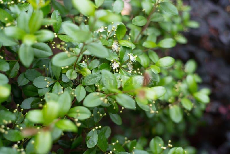 Arbusto floreciente nativo de la Florida del tapón o del Twinberry del ` s de Simpson foto de archivo libre de regalías