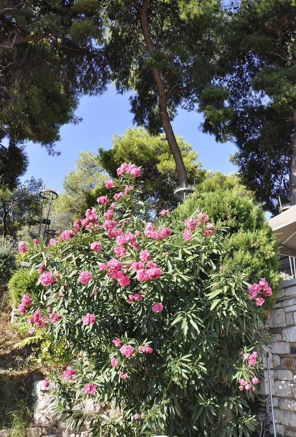 Arbusto florescido do oleandro de Atenas em Grécia imagem de stock royalty free