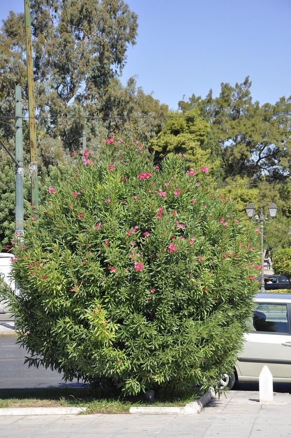 Arbusto florescido do oleandro de Atenas em Grécia fotografia de stock