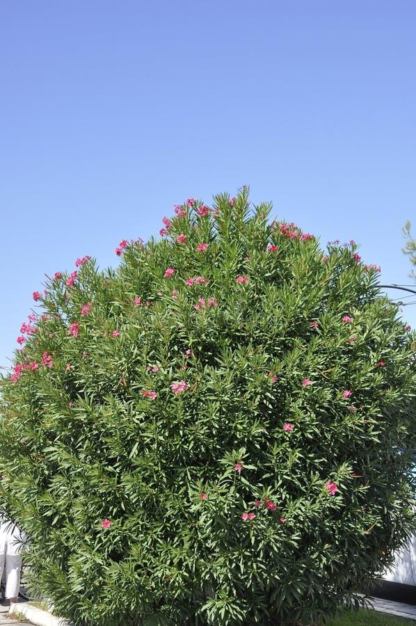 Arbusto florescido do oleandro de Atenas em Grécia imagens de stock