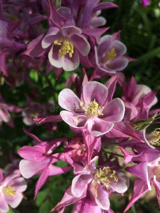 Arbusto florescido do tempo de mola fotografia de stock